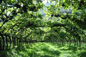 Arbeta på vingård
